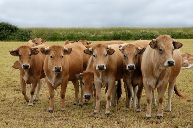 Groupe de vache