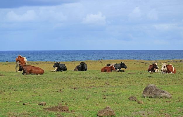 Groupe de vaches se détendre au bord de la mer près de ahu tongariki sur l'île de pâques du chili