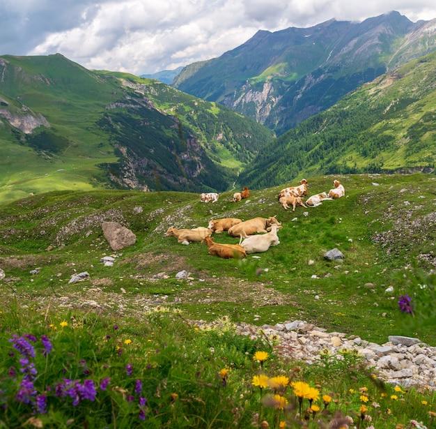 Groupe de vaches se reposent sur un pâturage vert sur fond de montagnes