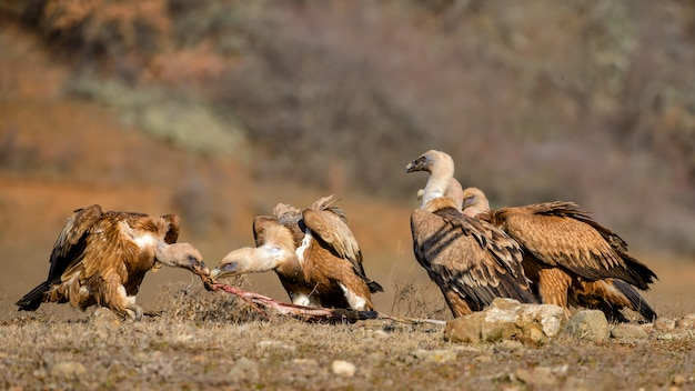 Un groupe de vautour fauve gyps fulvus