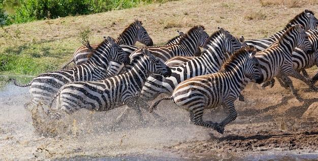 Groupe de zèbres courant sur l'eau. kenya. tanzanie. parc national. serengeti. maasai mara.