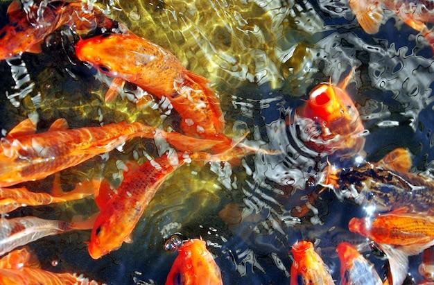 Des groupes de poissons dans l'étang