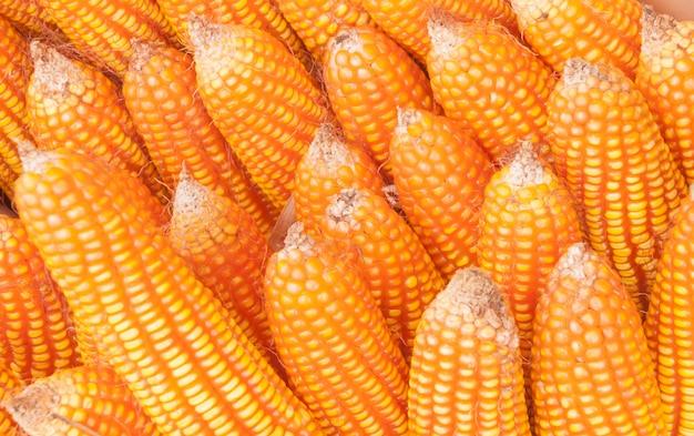 Gruau et graines de maïs