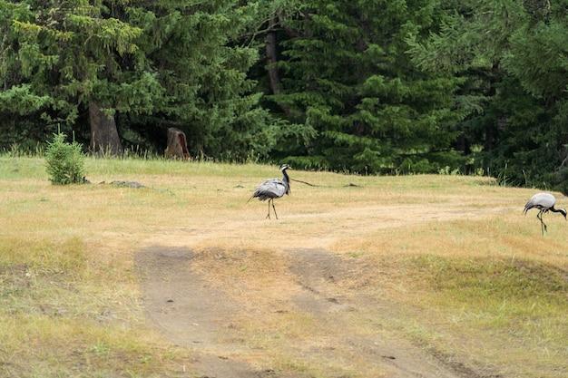 Grue-bellad, se promène dans la steppe avec ses poussins