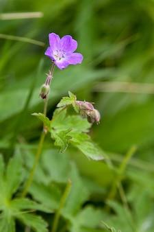 Grues des bois-bill (geranium sylvaticum) poussant à l'état sauvage en ecosse