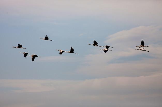 Grues commandées volant en formation