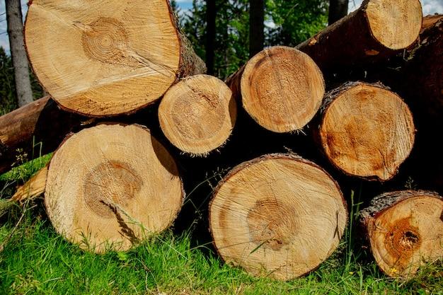 Grumes de pin dans une forêt de sudètes, pologne