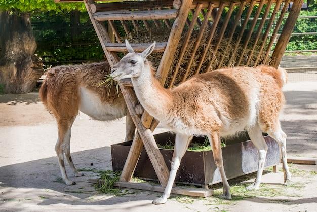 Guanaco allongé sur le sol au zoo