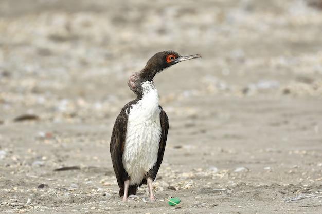 Guanay cormorant