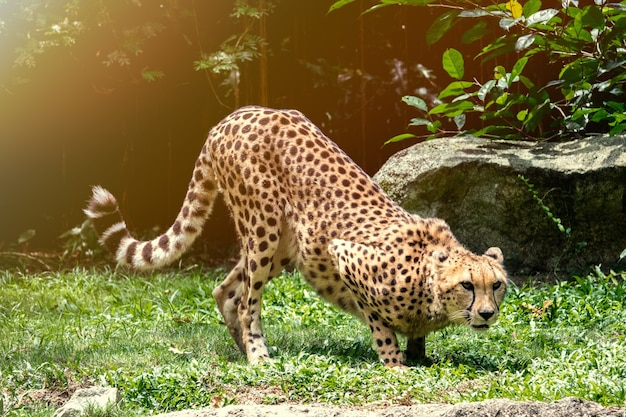 Guépard animaux en mouvement rapide