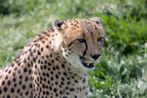 Un guépard assis dans l'herbe