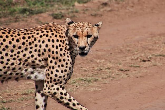 Guépard lors d'un safari au kenya et en tanzanie, en afrique