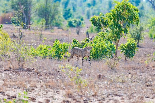 Guépard en position de chasse prêt à courir pour une embuscade.