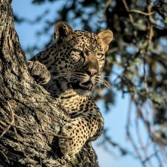 Guépard reposant sur un arbre dans le parc national du serengeti