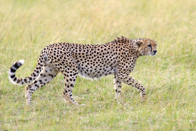 Guépard sauvage d'afrique, bel animal mammifère. afrique, kenya