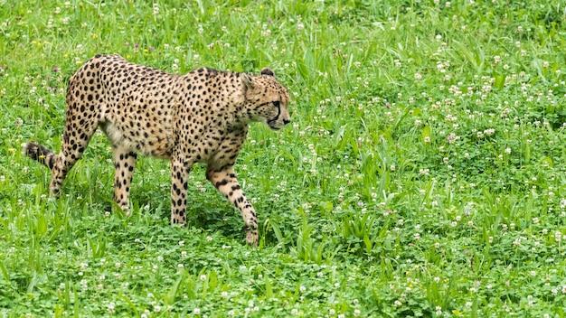 Guépard sauvage solitaire sur l'herbe