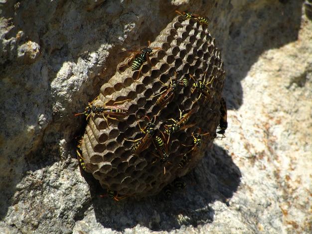 Guêpe européenne avec des abeilles pendant la journée