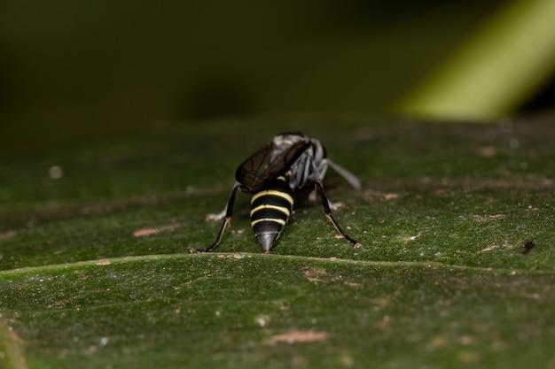 Guêpe à miel adulte à taille longue du sous-genre myrapetra