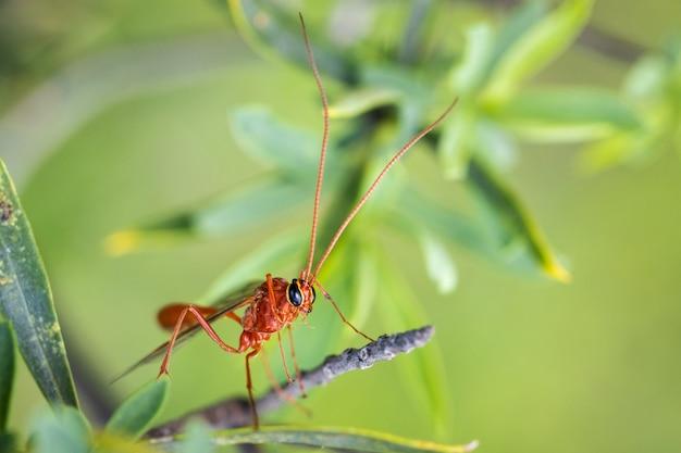 Guêpe rouge photographiée dans son environnement naturel.