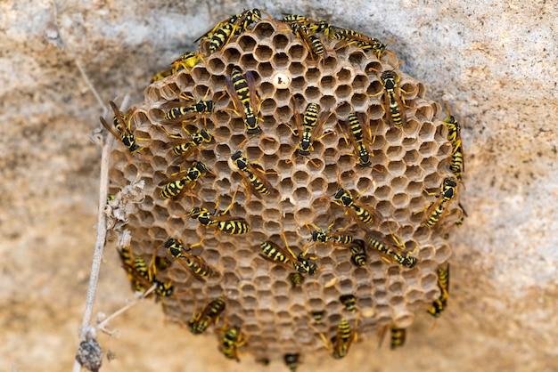 Guêpes dans un nid