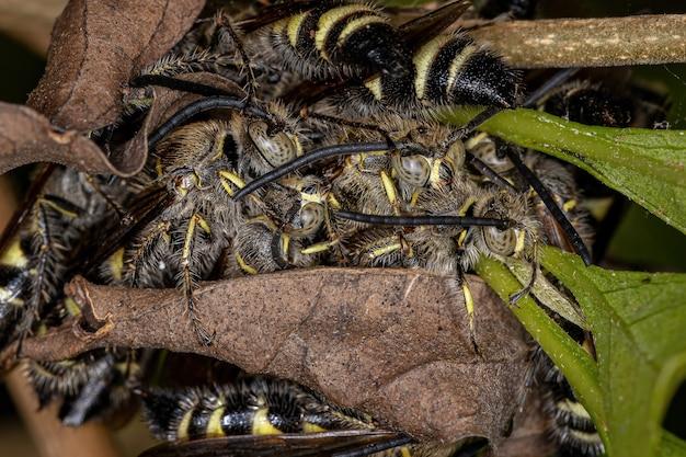 Guêpes scoliidae adultes de la sous-famille des campsomerinae