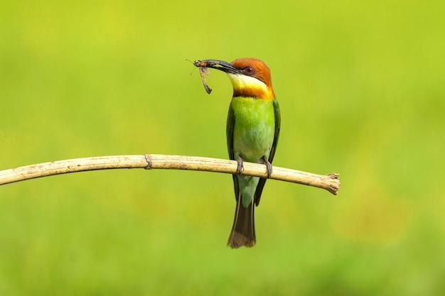 Guêpier vert perché sur une branche au parc national de khaoyai, thaïlande