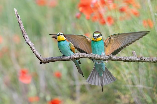 Guêpiers aux plumes multicolores assis sur la branche d'arbre