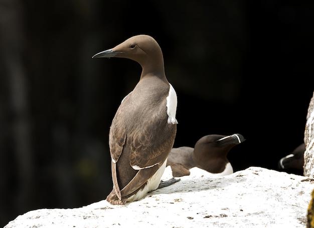 Guillemot et petit pingouin se détendent sur la falaise sous les chauds rayons du soleil en ecosse, royaume-uni