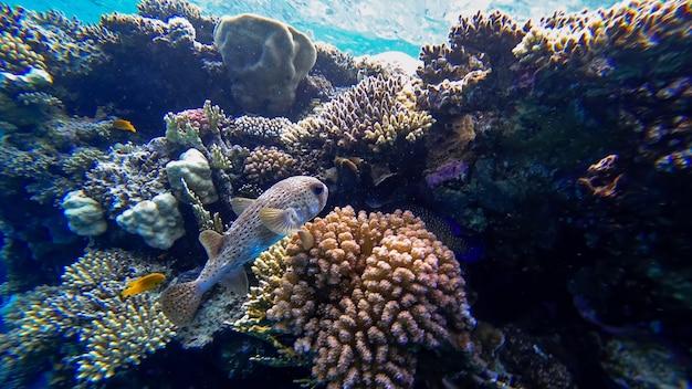 Les habitants de la mer rouge sont un poisson-globe dangereux qui veut actuellement se cacher près des coraux