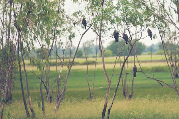 Habitat de faucon à nakhonnayok, thaïlande