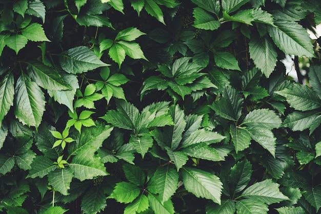 Haie de grandes feuilles vertes au printemps
