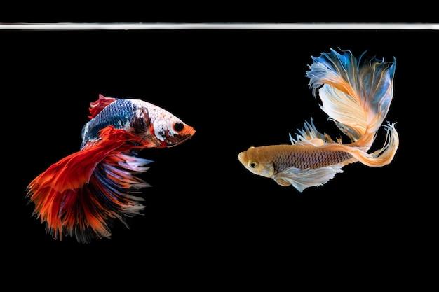 Halfmoon betta beau poisson. capturer le moment émouvant belle du poisson siam betta