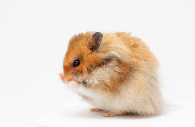 Hamster drôle isolé sur fond blanc