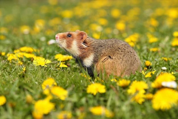 Hamster européen sur une prairie fleurie