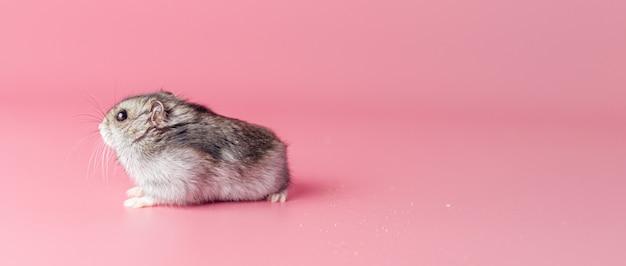 Hamster sur fond rose avec espace de copie