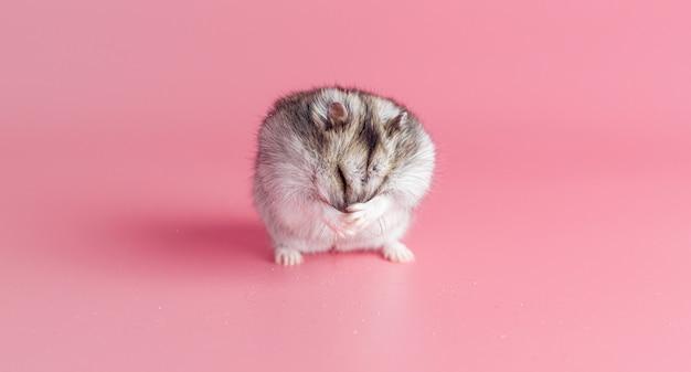 Hamster lave son visage sur un fond rose