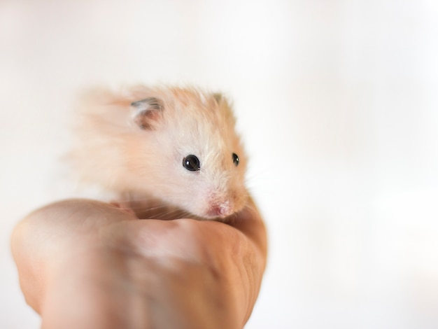 Hamster moelleux est tenue dans les paumes
