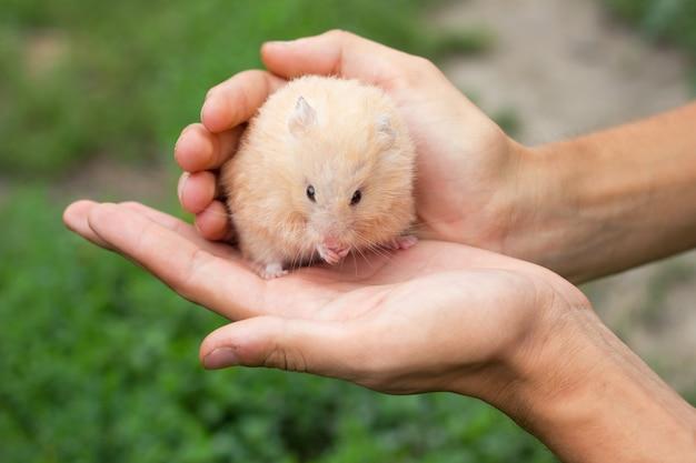 Hamster moelleux rouge à la main, sur un beau fond
