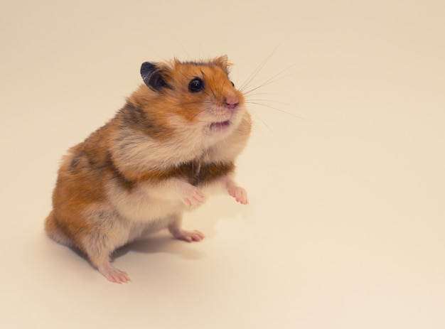 Hamster syrien mignon avec de la nourriture dans ses poches de joue