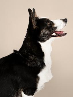 Happy cardigan welsh corgi chien