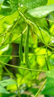 Haricot vert sur une vigne