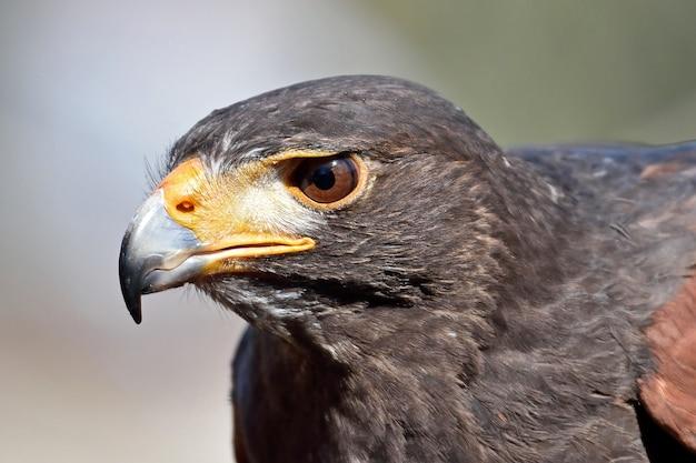 Harris faucon (parabuteo unicinctus)