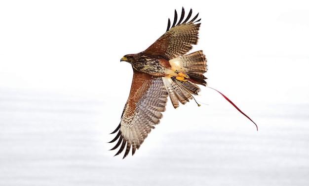 Un harris hawk captif, utilisé en fauconnerie, avec les ailes déployées pendant le vol.