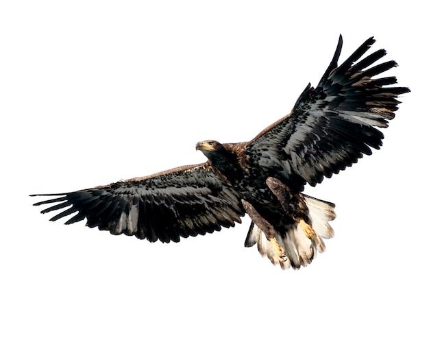 Harris's hawk isolé sur blanc