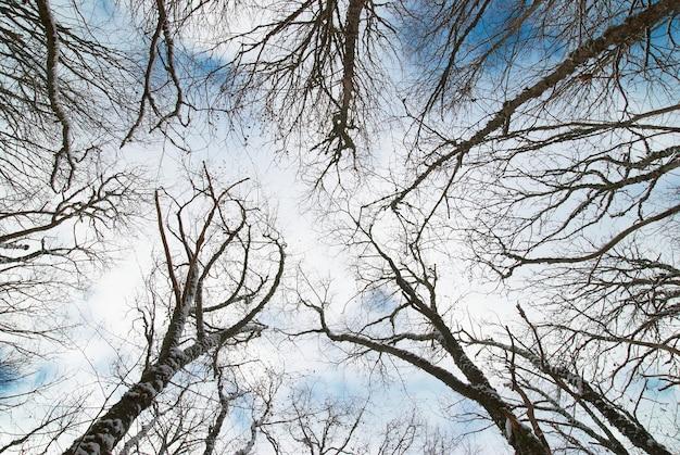 Haut des arbres d'hiver avec ciel bleu et nuages.