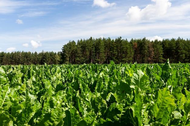 Haut de betterave verte sur un champ agricole