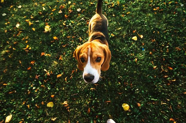 D'en haut d'un chien beagle calme marchant sur une pelouse se promenant dans un parc en regardant la caméra