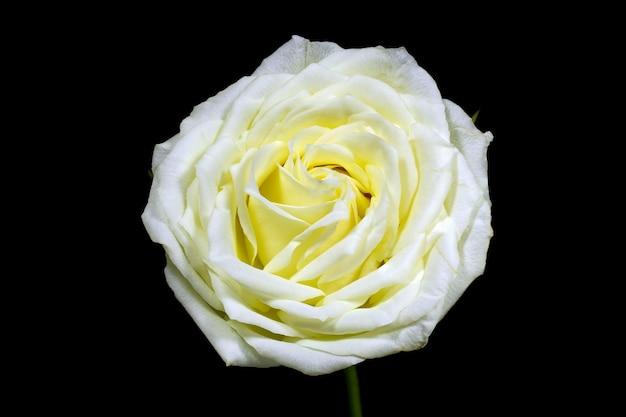 Haut contraste de noir et blanc de la rose blanche sur le noir