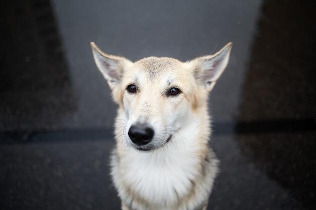 D'en haut d'un jeune chien de berger debout sur une route goudronnée humide et regardant, espérons-le, la caméra