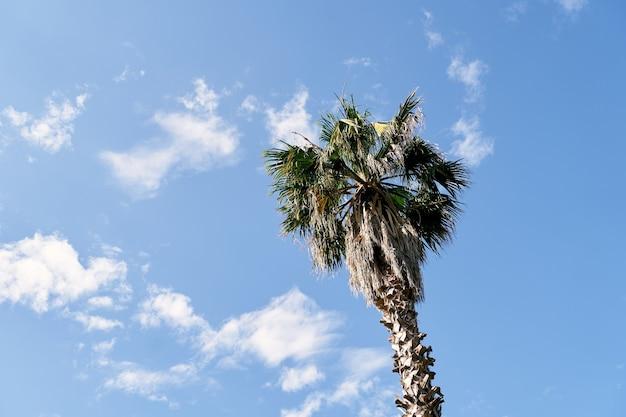 Haut d'un palmier dattier contre un ciel bleu avec des nuages blancs